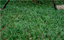 麦冬草常见病虫害有哪些?如何防治