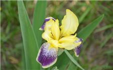 鸢尾花常见病虫害有哪些?如何防治