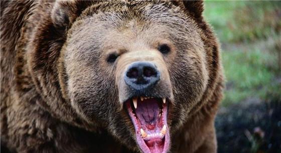 村民寻药遭黑熊袭击 野生动物袭人该由谁来赔偿?