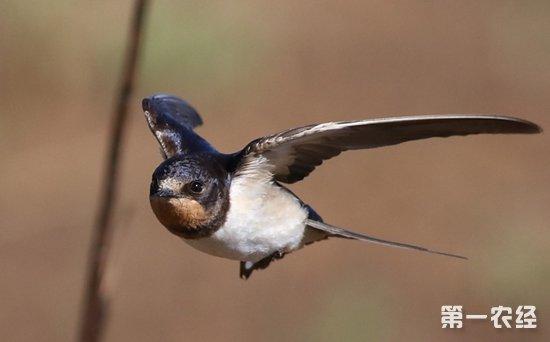 燕子是益鸟吗?燕子属于候鸟还是其他鸟类?