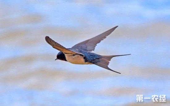 燕子的尾巴有什么特点?燕子尾巴怎么摆动?