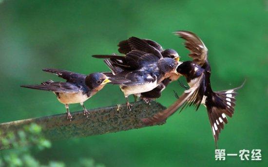 燕子吃什么?燕子的食物有哪些?