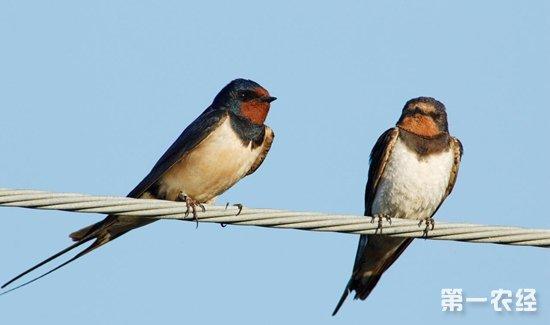 捡到受伤的小燕子怎么办?燕子雏鸟疗伤喂养与放生
