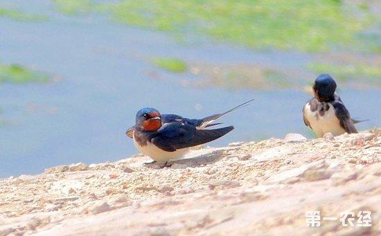 燕子是国家保护动物吗?燕子主要分布在哪些地区?
