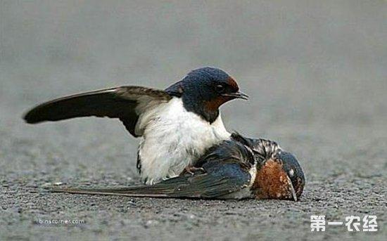 燕子死亡原因有哪些?燕子死亡的各种原因分析