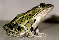 美国青蛙怎么养?如何养殖美国青蛙
