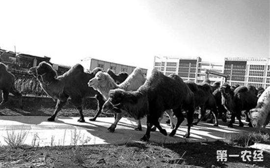 昆明街头惊现23峰骆驼!从内蒙古运到云南引围观