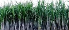 何进一带头成立合作社带着村民种植甘蔗走向致富路