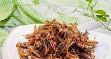 王峰的致富奇招养蚂蚱一斤20元