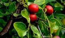 福建浦城李仕银发展绿色产业百年酸枣树赚来七十万