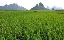 <b>探访江苏省南通市柏树墩村——一个优质水稻种植村的调查与思考!</b>