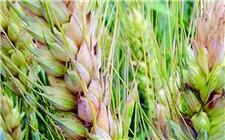 农业农村部出招 防范小麦赤霉病危害