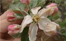 果树专家提醒:冻害已过 及时补救坐果率