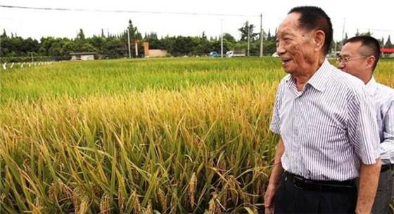 海水稻研究取得重要进展 我国开始大范围试种海水稻