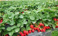江苏省泗阳县:智慧大棚打造高质量草莓