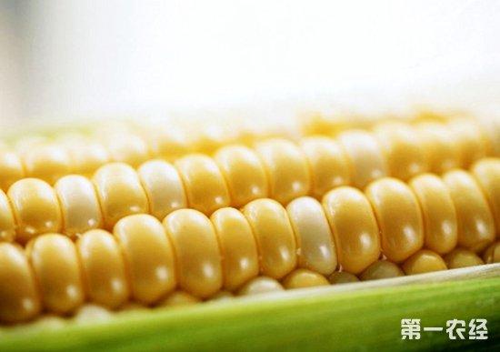 3月份华北玉米二次触顶 后期政策粮拍卖看政策导向