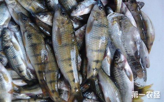 石斑鱼平稳中呈下跌趋势 清明节最高下跌4元/斤