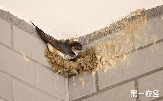 燕子是怎么做窝的?燕子搭窝时的过程(图)
