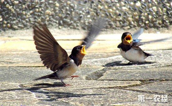 燕子一般出生几天能学飞?燕子学飞要多久?