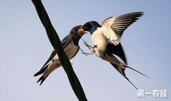燕子一般能活多久?燕子的平均寿命