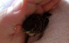 捡来的小麻雀生病了怎么办?怎么挽救它们?