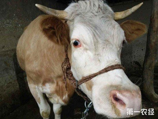 牛白肌病是怎么回事?牛白肌病的预防与治疗