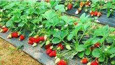 <b>香甜草莓带来甜蜜生活</b>