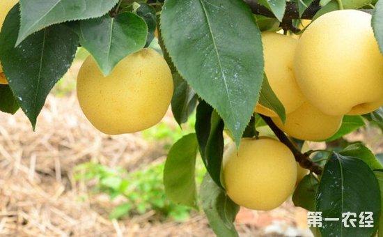 黄元帅苹果多少钱一斤?黄元帅苹果价格