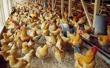 清明过后一夜入冬,你养的鸡还好吗?