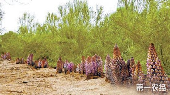 新疆:科学防沙显成效 治沙致富两不误
