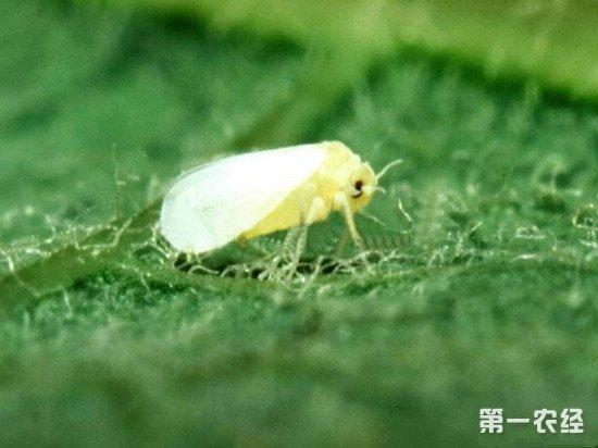 温室白粉虱杀灭方法
