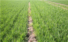 硅肥的作用有哪些?施硅肥对农作物的好处