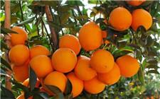脐橙采果后施肥注意事项