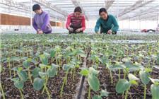 蔬菜分苗时预防死苗的方法