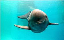 江豚现身长江宜昌 这是生态修复最好的礼物