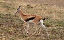 羚羊是羊还是鹿?幼年的羚羊和鹿有何区别?