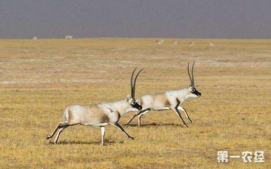 藏羚羊不等于羚羊?藏羚羊与普通羚羊有何区别?