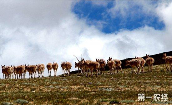 藏羚羊为什么要迁徙?揭晓藏羚羊迁徙之谜
