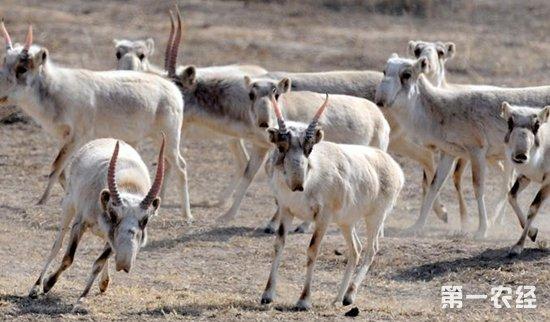 羚羊能人工饲养吗?养羚羊需要办理哪些手续?