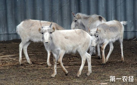 15万羚羊死亡原因终于揭晓:多杀性巴氏杆菌引发并发症
