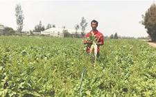 <b>石狮租种农户夫妇遇滞销难题 40几万斤萝卜无人问津让人愁</b>