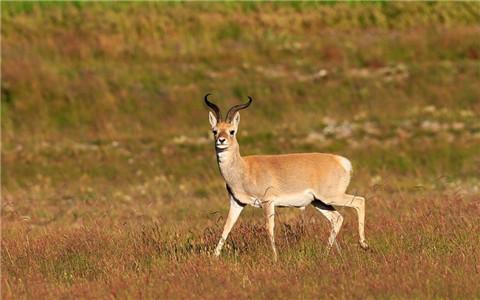 生态恢复:濒危动物普氏原羚数量上升至2057只