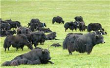 青海:政策扶持 大力发展牦牛产业