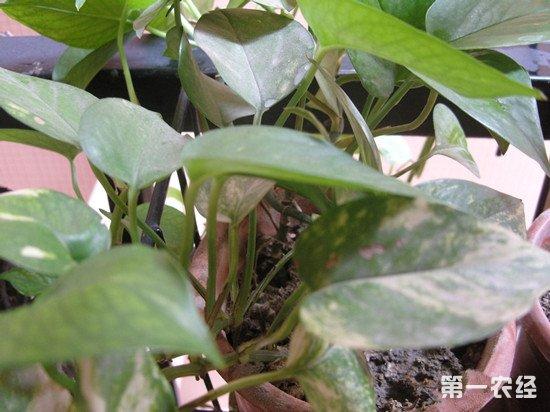 绿萝怎么养才能更旺盛