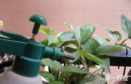 绿萝怎么养才能更旺盛:浇水