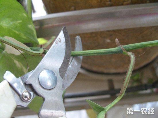 绿萝怎么养才能更旺盛:修剪