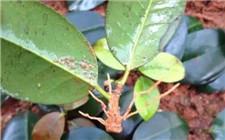 茶花杆插繁殖怎么操作?茶花扦插生根最快方法