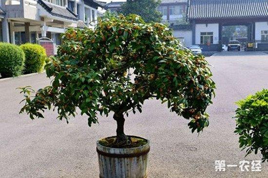 桂花盆栽怎么养?桂花盆栽的养殖方法