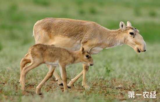 高鼻羚羊灭绝了吗?高鼻羚羊主要分布在哪些地区?