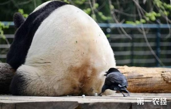 """乌鸦为什么会拔熊猫毛搭窝?难道乌鸦比大熊猫还""""胆大""""?"""